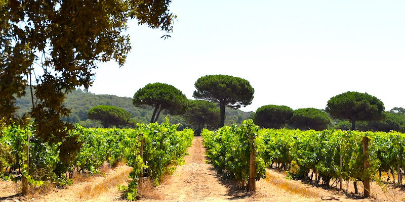 vineyard porquerolles